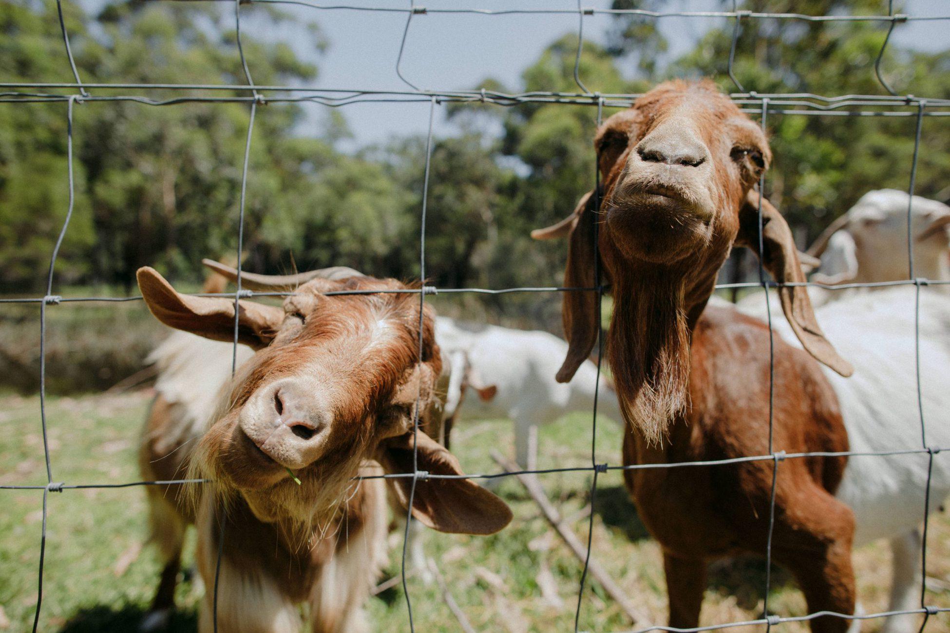 South Coast Farm Wedding - cute farm animals at weddings
